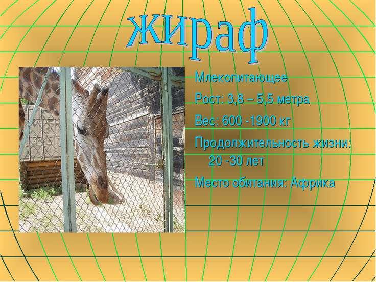 Млекопитающее Рост: 3,8 – 5,5 метра Вес: 600 -1900 кг Продолжительность жизни...