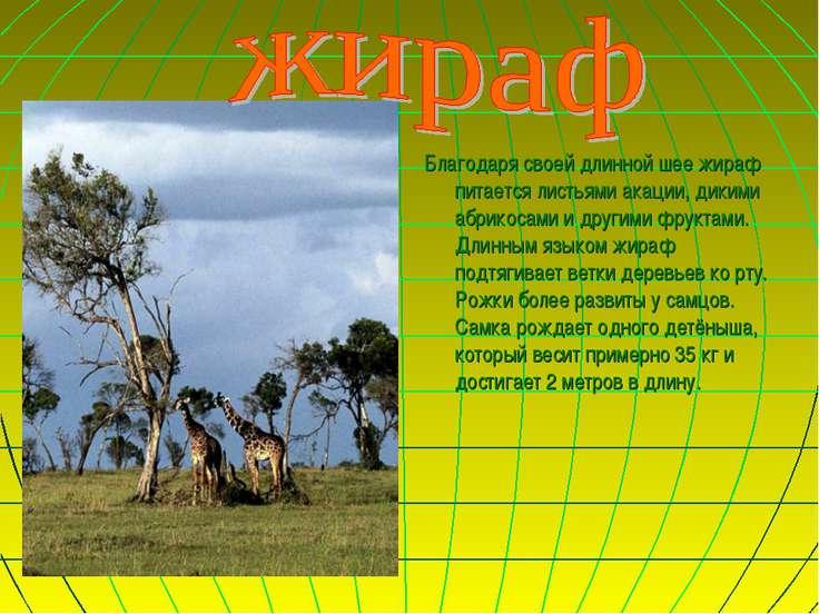 Благодаря своей длинной шее жираф питается листьями акации, дикими абрикосами...