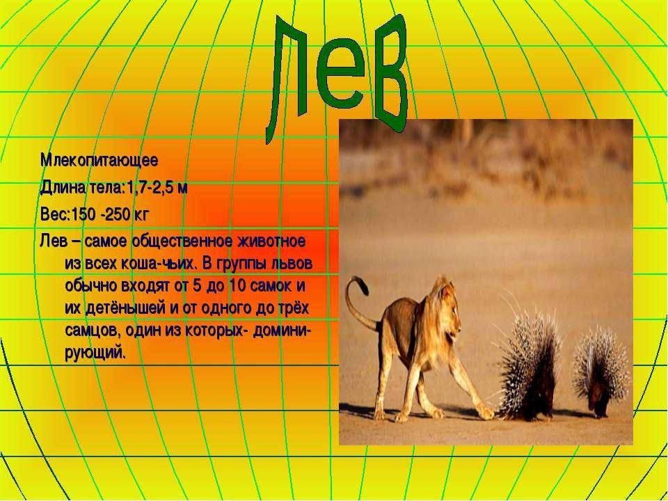 Млекопитающее Длина тела:1,7-2,5 м Вес:150 -250 кг Лев – самое общественное ж...