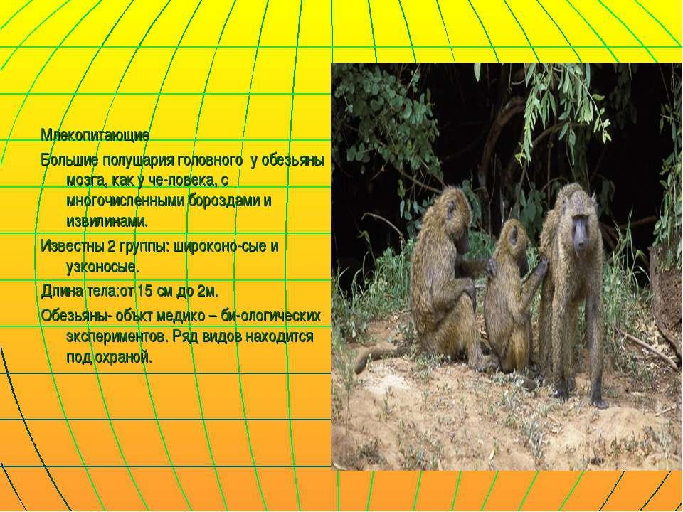 Млекопитающие Большие полушария головного у обезьяны мозга, как у че-ловека, ...