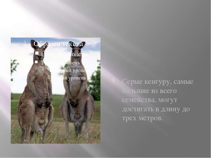 Серые кенгуру, самые большие из всего семейства, могут достигать в длину до т...
