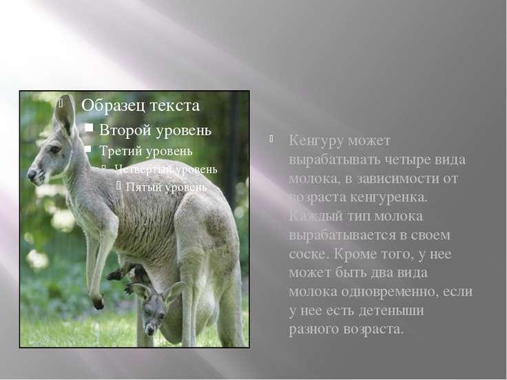 Кенгуру может вырабатывать четыре вида молока, в зависимости от возраста кенг...