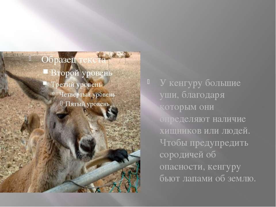 У кенгуру большие уши, благодаря которым они определяют наличие хищников или ...
