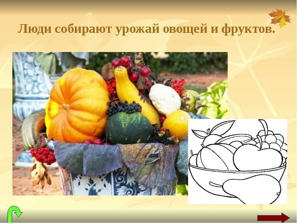 Люди собирают урожай овощей и фруктов.