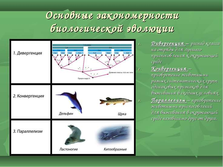 Основные закономерности биологической эволюции Дивергенция – распад класса на...