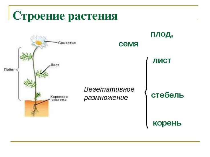Строение растения корень стебель лист плод, семя Вегетативное размножение