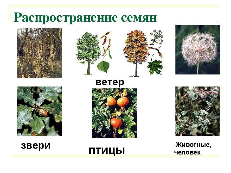 Распространение семян ветер звери птицы Животные, человек