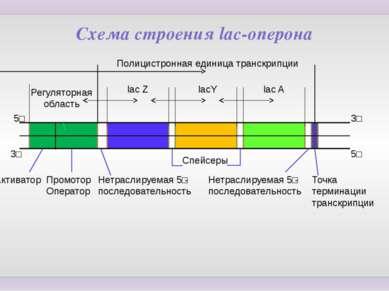 Схема строения lac-оперона Регуляторная область Полицистронная единица транск...
