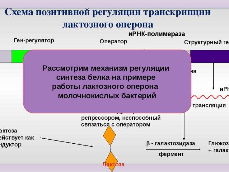 Ген-регулятор иРНК-полимераза Оператор Структурный ген транскрипция иРНК тран...
