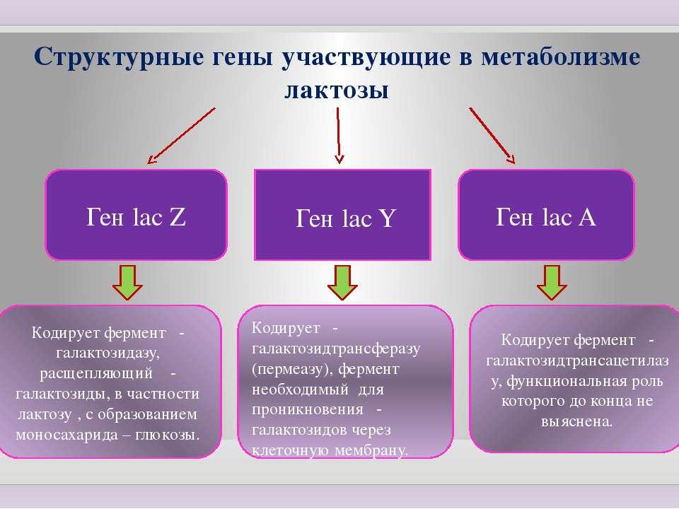 Структурные гены участвующие в метаболизме лактозы Ген lac Z Ген lac A Ген la...