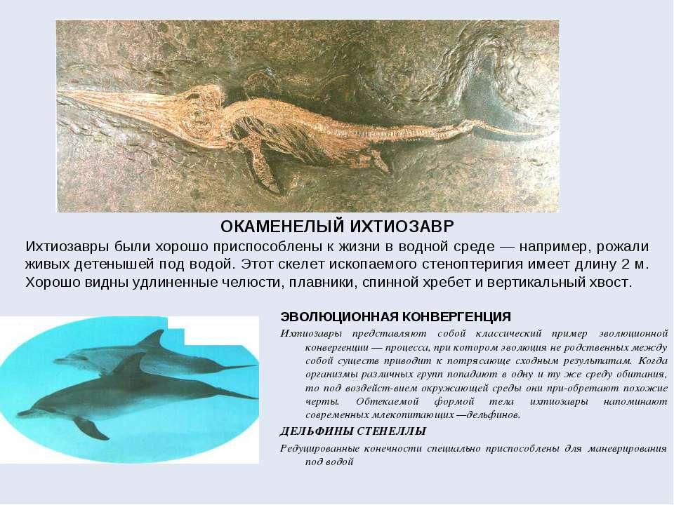 ОКАМЕНЕЛЫЙ ИХТИОЗАВР Ихтиозавры были хорошо приспособлены к жизни в водной ср...