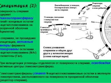 Капацитация (2): Поверхность спермия содержит гликозилтрансферазу (узнаёт кон...