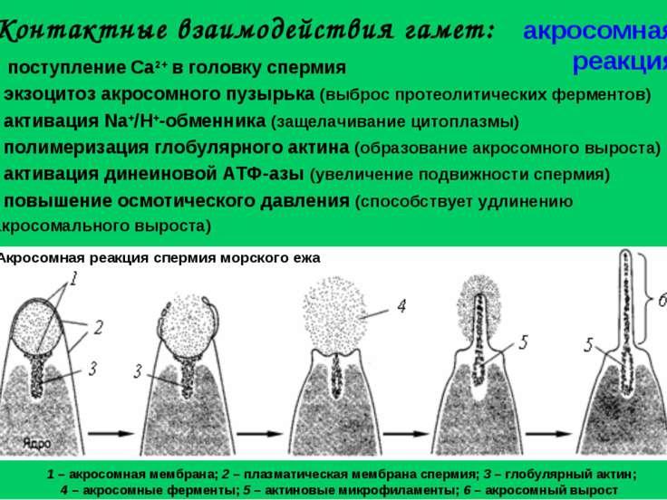 Контактные взаимодействия гамет: поступление Ca2+ в головку спермия экзоцитоз...