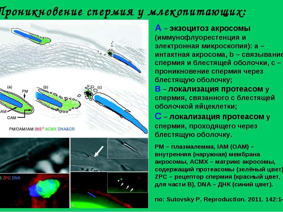 Проникновение спермия у млекопитающих: A – экзоцитоз акросомы (иммунофлуорест...