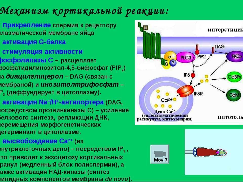 Механизм кортикальной реакции: прикрепление спермия к рецептору плазматическо...