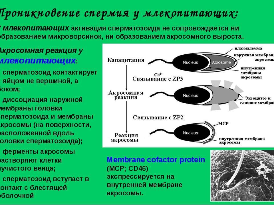 У млекопитающих активация сперматозоида не сопровождается ни образованием мик...