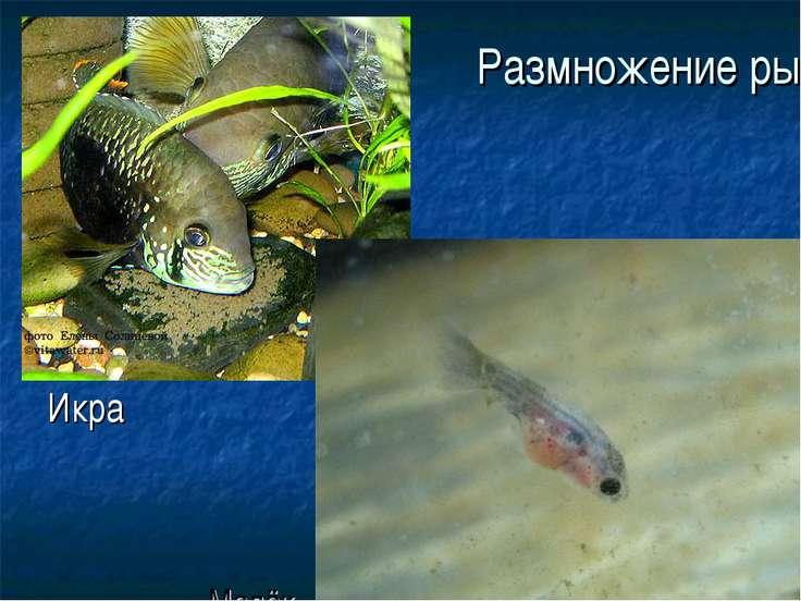 Размножение рыб Икра Малёк