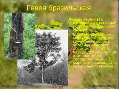 Гевея бразильская Дерево семейства Молочайные, основной источник натурального...