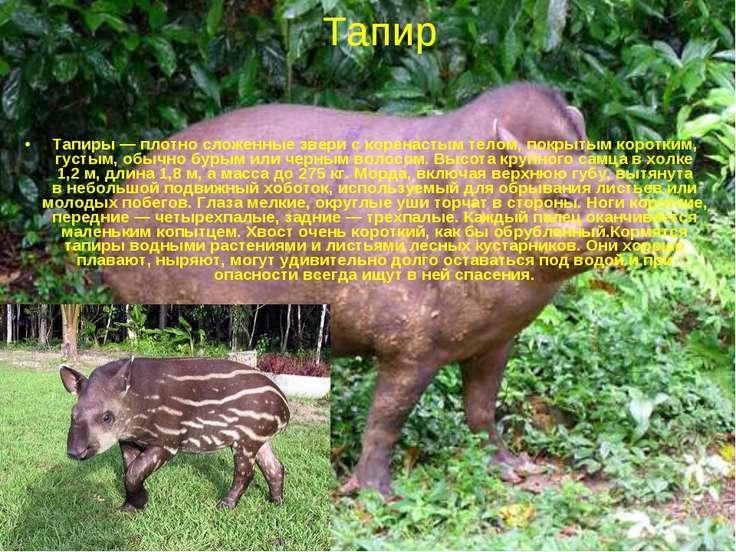 Тапиры— плотно сложенные звери скоренастым телом, покрытым коротким, густым...