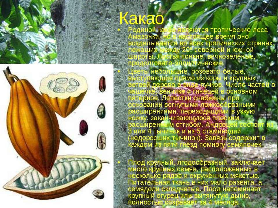 Какао Родиной какао являются тропические леса Амазонки, но в настоящее время ...