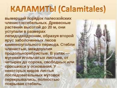 вымерший порядок палеозойских членистостебельных. Древесные растения высотой ...