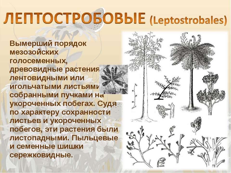 Вымерший порядок мезозойских голосеменных, древовидные растения с лентовидным...