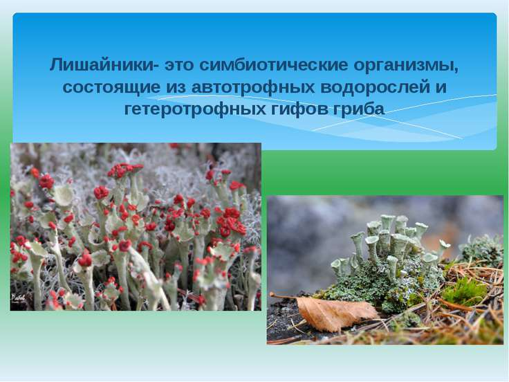 Лишайники- это симбиотические организмы, состоящие из автотрофных водорослей ...