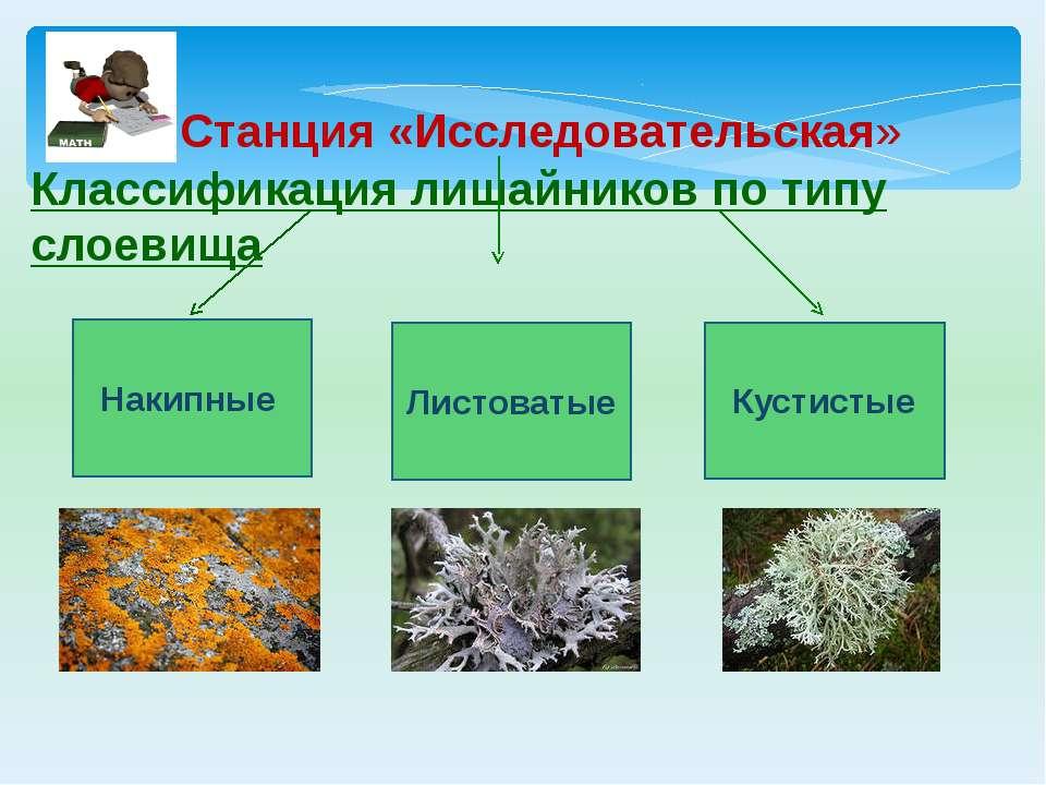 Классификация лишайников по типу слоевища Накипные Кустистые Листоватые Станц...