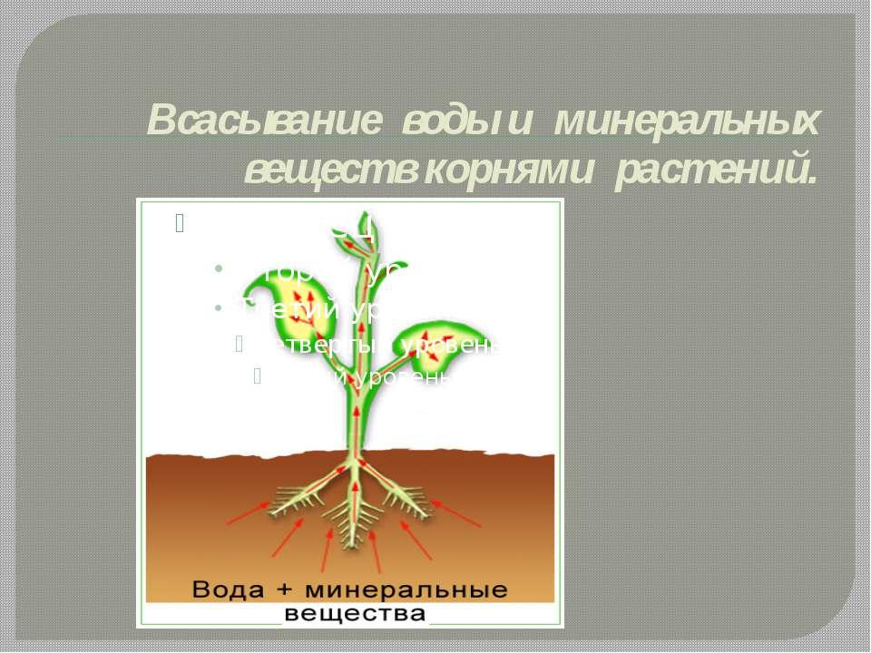 Всасывание воды и минеральных веществ корнями растений.