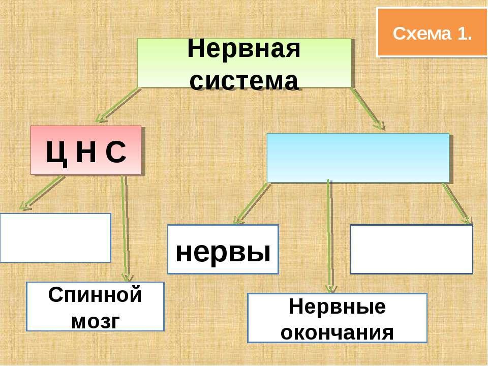 Нервная система Ц Н С Спинной мозг нервы Нервные окончания Схема 1.