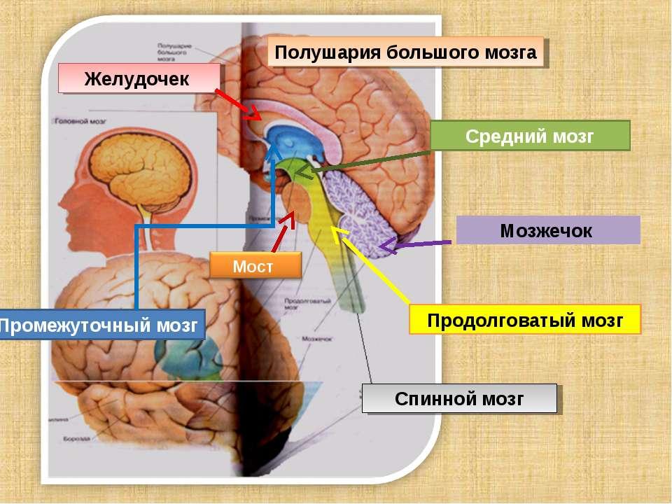 Полушария большого мозга Промежуточный мозг Средний мозг Продолговатый мозг М...