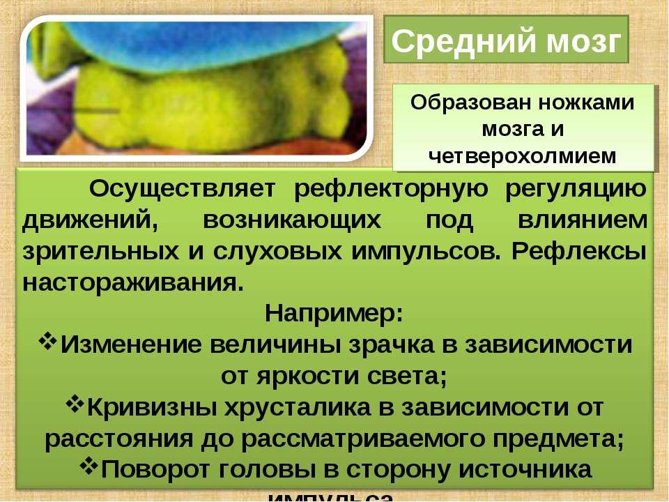 Средний мозг Образован ножками мозга и четверохолмием