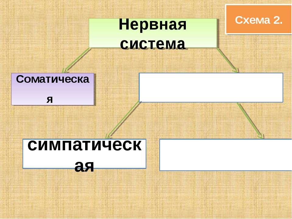 Схема 2. Нервная система Соматическая симпатическая
