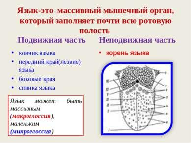 Язык-это массивный мышечный орган, который заполняет почти всю ротовую полост...
