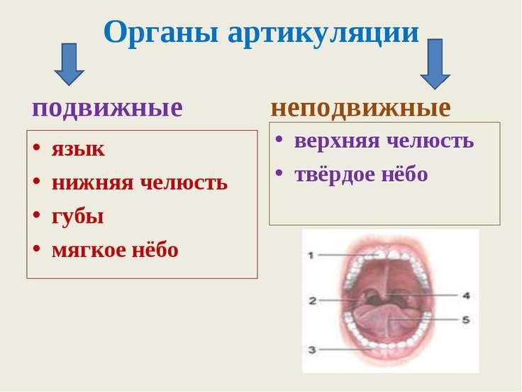 Органы артикуляции подвижные язык нижняя челюсть губы мягкое нёбо неподвижные...