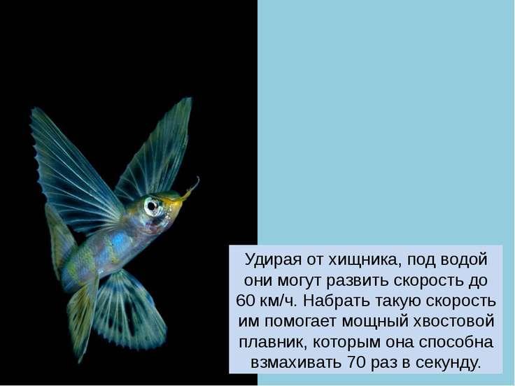 Удирая от хищника, под водой они могут развить скорость до 60 км/ч. Набрать т...
