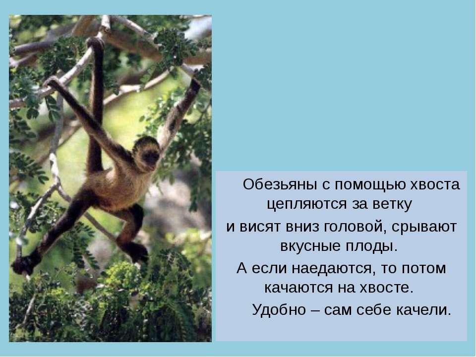 Обезьяны с помощью хвоста цепляются за ветку и висят вниз головой, срывают вк...