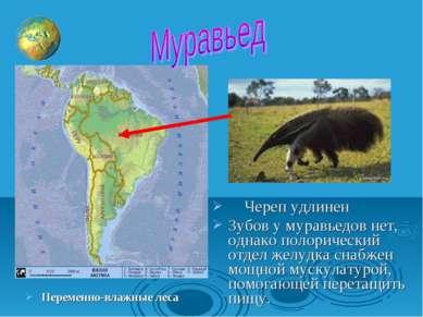 Переменно-влажные леса Череп удлинен Зубов у муравьедов нет, однако полоричес...