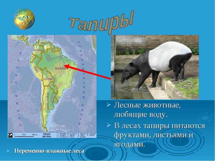 Лесные животные, любящие воду. В лесах тапиры питаются фруктами, листьями и я...