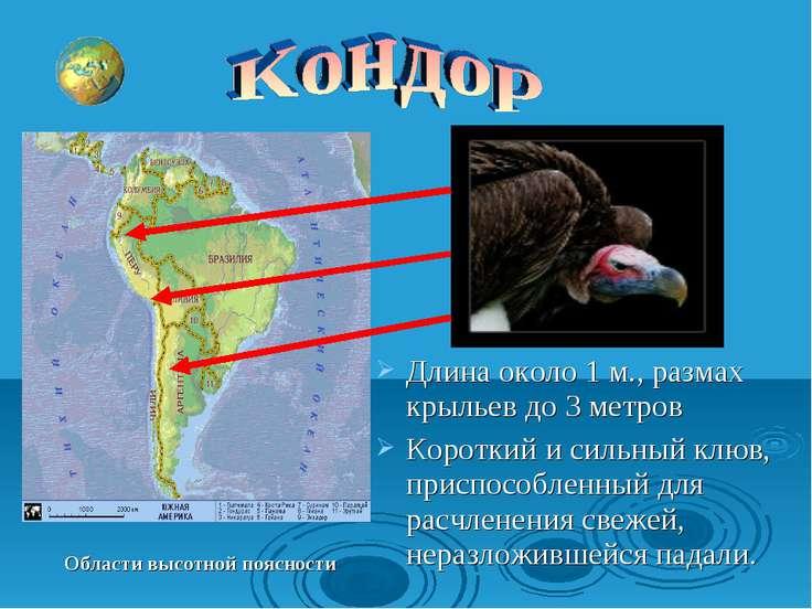 Области высотной поясности Длина около 1 м., размах крыльев до 3 метров Корот...