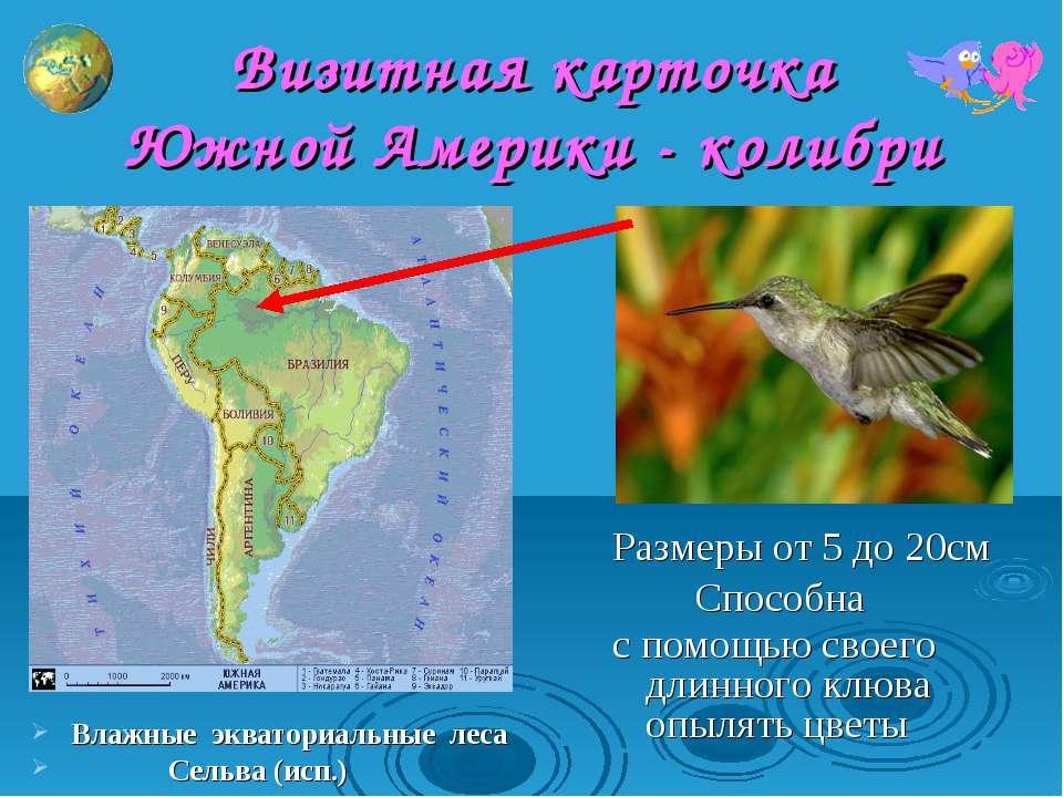 Визитная карточка Южной Америки - колибри Размеры от 5 до 20см Способна с пом...