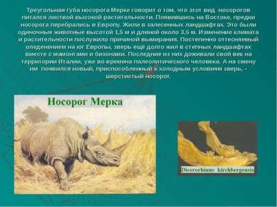 Треугольная губа носорога Мерке говорит о том, что этот вид носорогов питался...