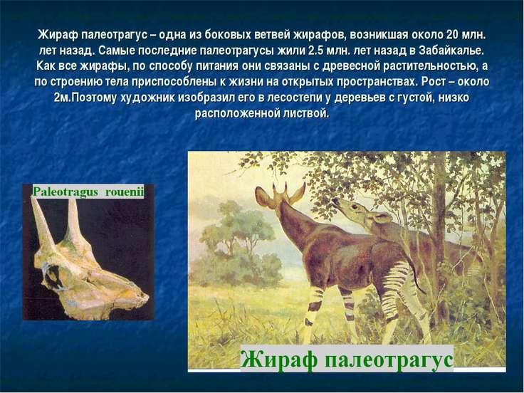 Жираф палеотрагус – одна из боковых ветвей жирафов, возникшая около 20 млн. л...