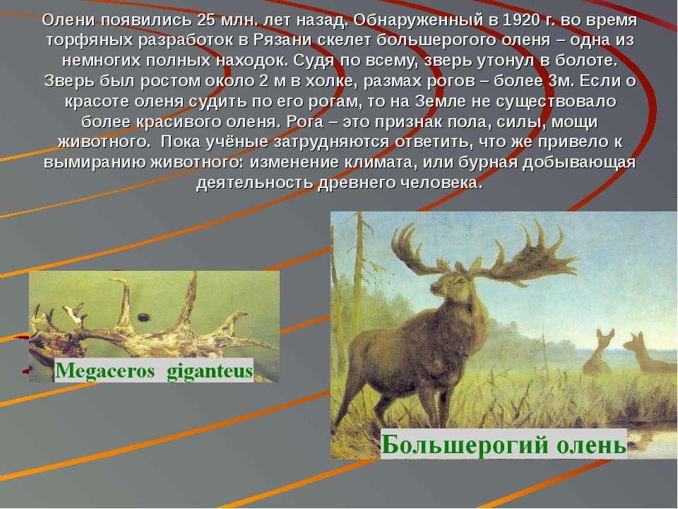 Олени появились 25 млн. лет назад. Обнаруженный в 1920 г. во время торфяных р...