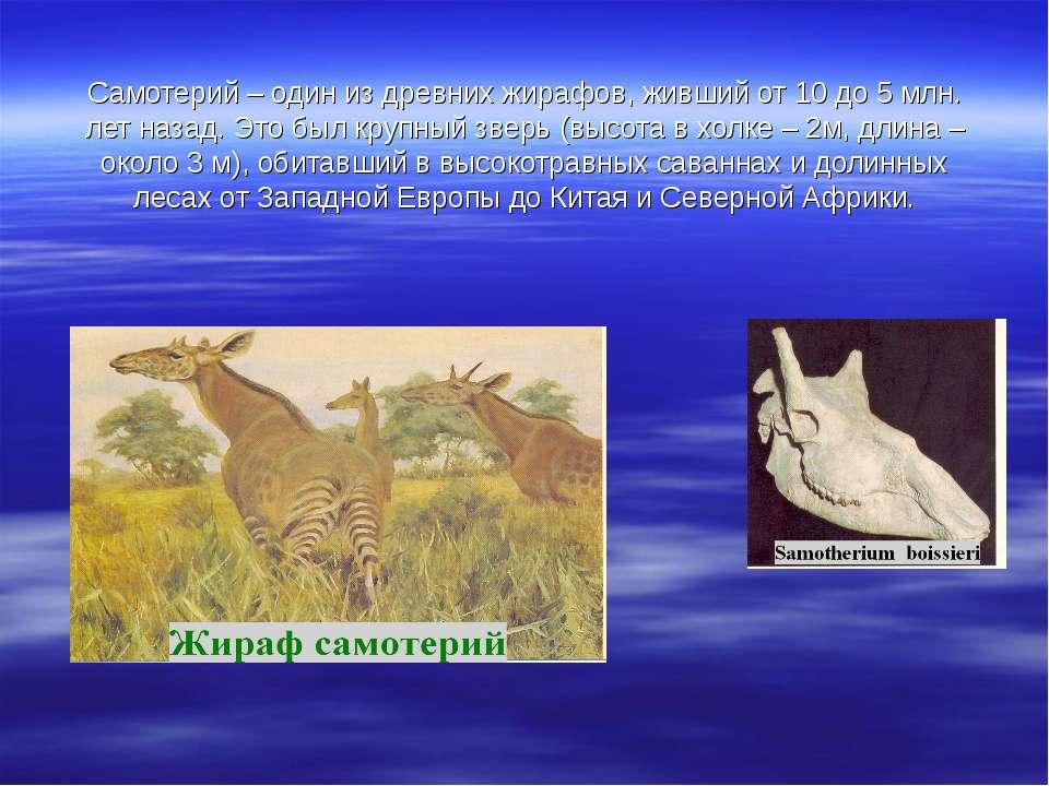 Самотерий – один из древних жирафов, живший от 10 до 5 млн. лет назад. Это бы...