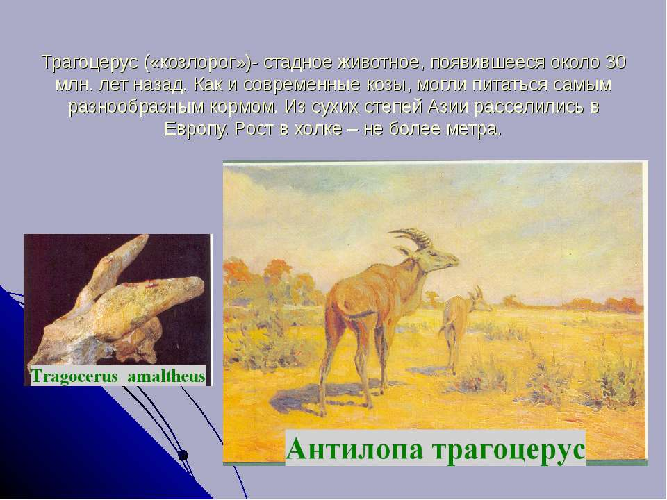 Трагоцерус («козлорог»)- стадное животное, появившееся около 30 млн. лет наза...