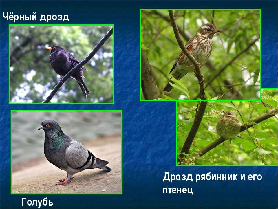 Чёрный дрозд Дрозд рябинник и его птенец Голубь