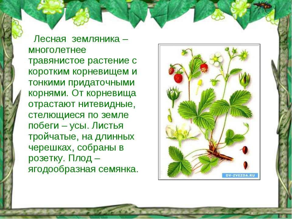 Лесная земляника – многолетнее травянистое растение с коротким корневищем и т...
