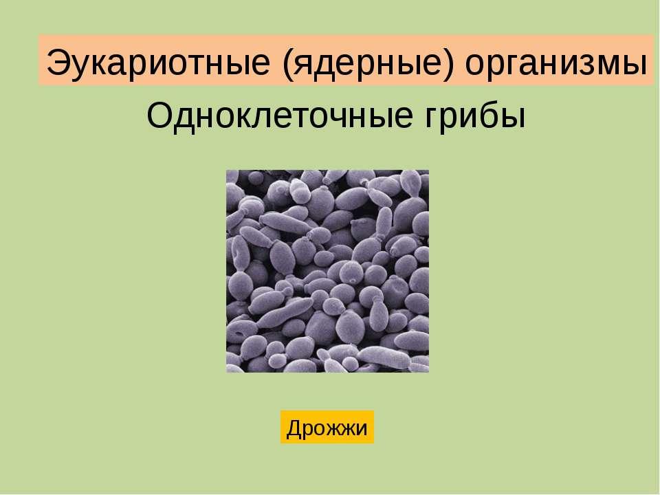 Одноклеточные грибы Дрожжи Эукариотные (ядерные) организмы