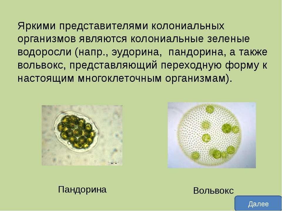 Пандори на (лат. Pandorina) — род колониальных водорослей семейства Вольвоксо...